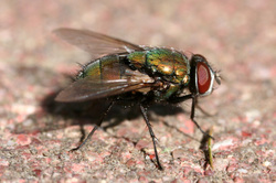Green_bottle_fly3_2